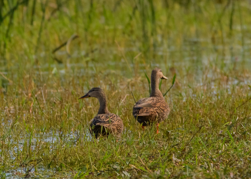 Mottled Duck pair at Lake Kissimmee State Park, Lake Wales, FL