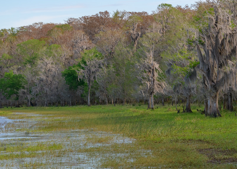 Some Pond Cypress trees with hanging spanish moss at Lake Kissimmee State Park, Lake Wales, FL