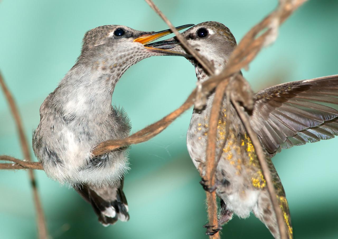Baby Anna's Hummingbird & Mom feeding