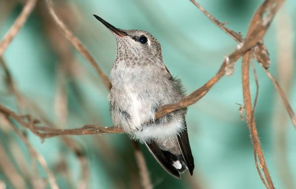 Baby Anna's Hummingbird