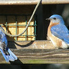 Male bluebirds.  They are especially attracted to the peanut suet in the feeder.