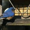 Pine warbler, male bluebird, goldfinch