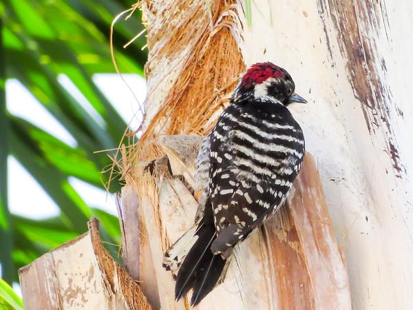 Nuttall's Woodpecker March 14 2015