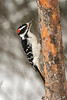 Male Hairy Woodpecker in falling snow