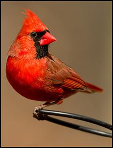 A2$Cuchara$Tom$Male_Cardinal$2011-4