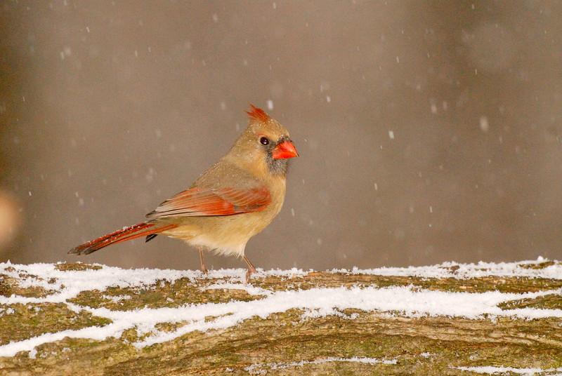 6153-Female Northern Cardinal in first snow (Cardinalis cardinalis)