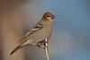 APR-11042: Female Pine Grosbeak (Pinicola enucleator)