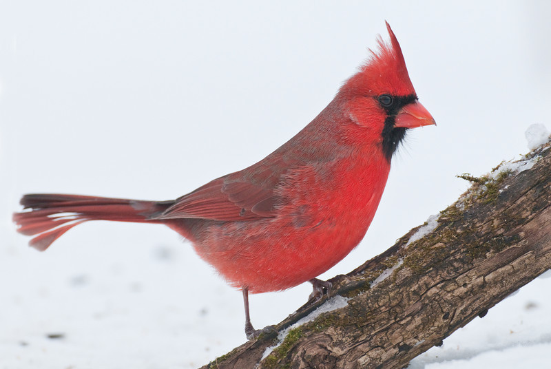 APR-10040: Male Northern Cardinal (Cardinalis cardinalis)