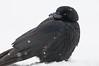 APR-11018: American Crow in falling snow (Corvus brachyrhynchos)
