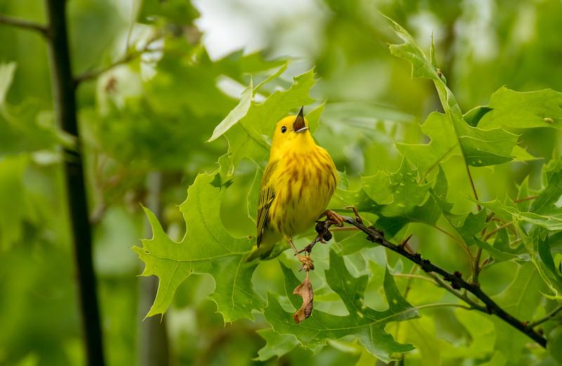 Calling Yellow Warbler