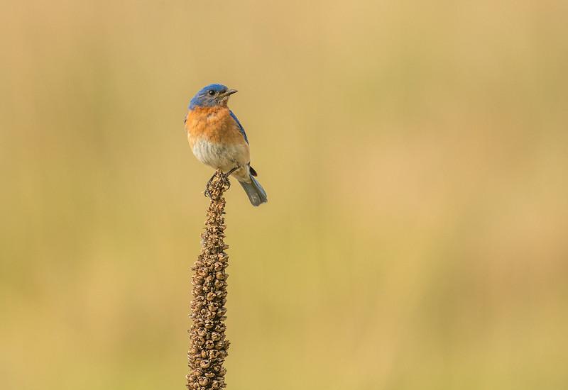 Male Eastern bluebird on Mullein