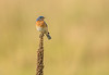 Male Eastern bluebird on Mullein