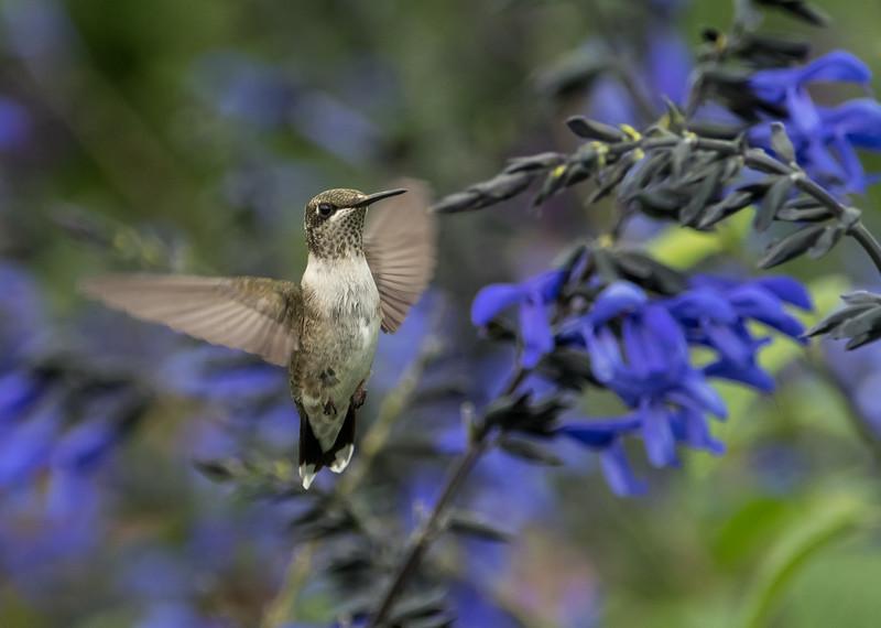 Immature Ruby-throated Hummingbird