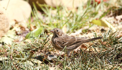 Vesper Sparrow_Ventura Co_CA_10-6-2013-3474