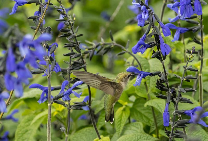Female Ruby-throated Hummingbird in the Salvia