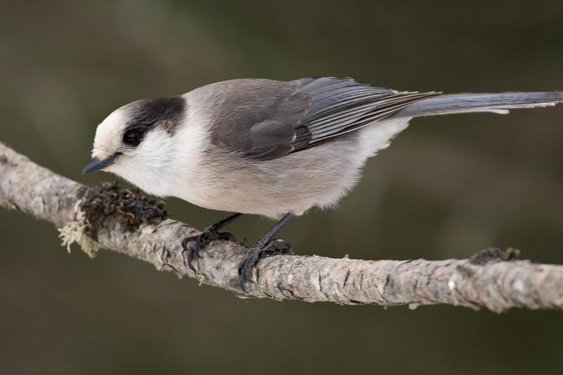 APR-9119: Gray Jay (Perisoreus canadensis)