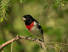 Male Rose-breasted Grosbeak in pine tree