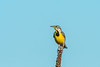 Eastern Meadowlark on mullein