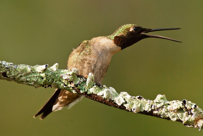 APR-11076: Ruby-throated Hummingbird in aggresive display <i> (Another male had just flown into his territority)</I>