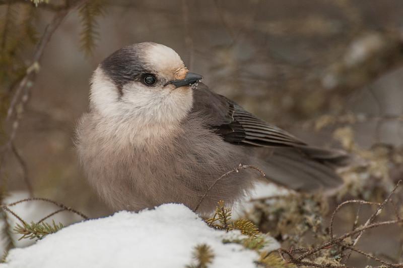 Gray Jay on snowy pine tree
