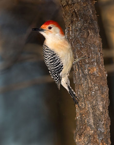 2701_red_bellied woodpecker printed 11x14T