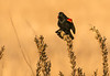 Calling male Red-winged Blackbird