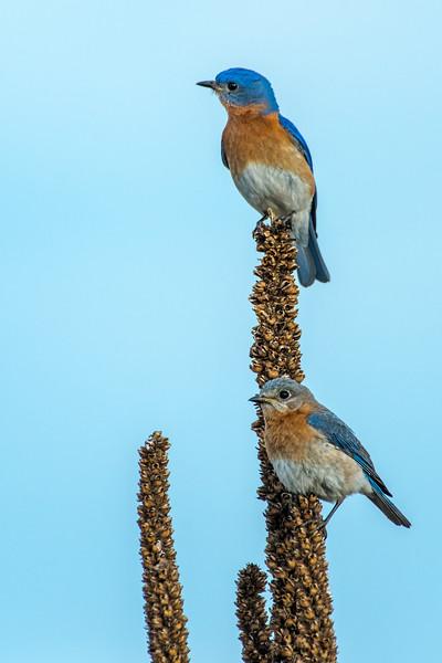 Bluebird pair on Mullein