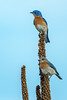Bluebird pair on Mullein