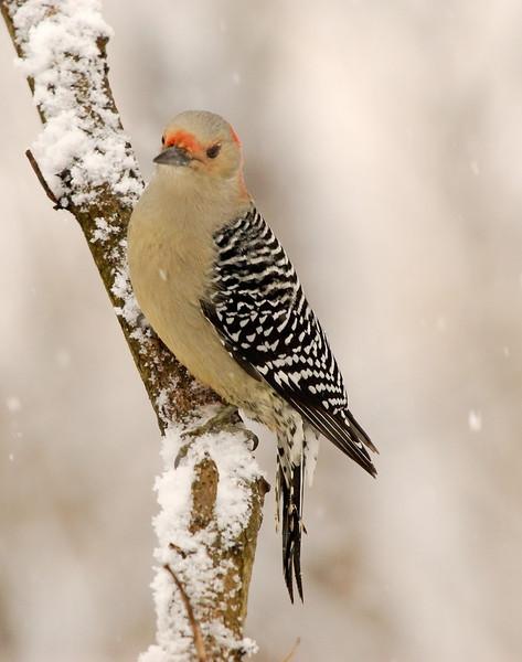 APR-6140: Red-bellied Woodpecker (Melanerpes carolinus)