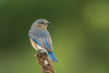 Female bluebird scanning for insects
