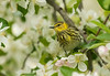 Female Cape May Warbler in Apple Blossoms