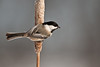 APR-10107: Black-capped Chickadee on cattail (Parus atricapillus)