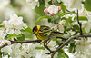 Male Cape May Warbler amongst blossoms