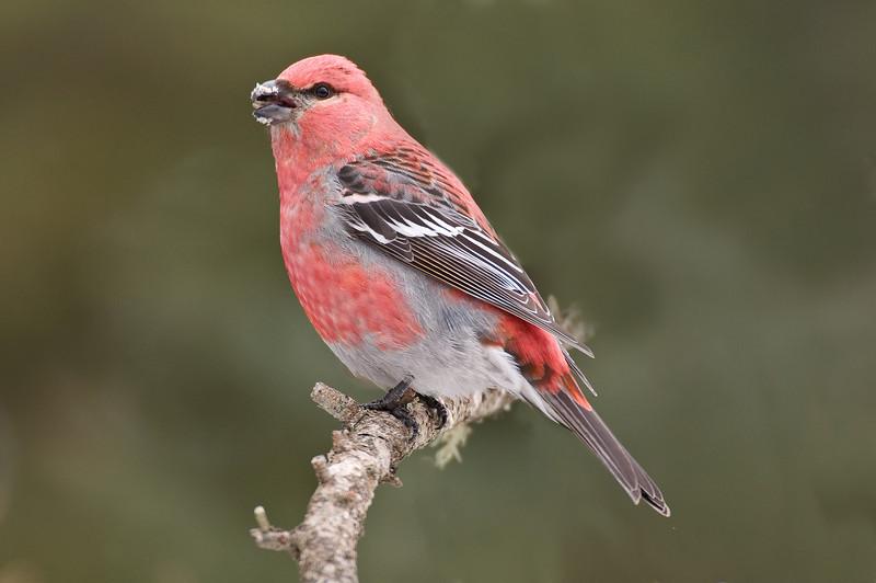 APR-9085: Male Pine Grosbeak (Pinicola enucleator)