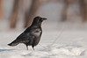 APR-11032: American Crow in fresh snow (Corvus brachyrhynchos)