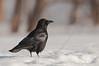 APR-11032: American Crow in fresh snow (Corvus brachyrhynchos)