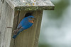 Male Easter Bluebird at nest box