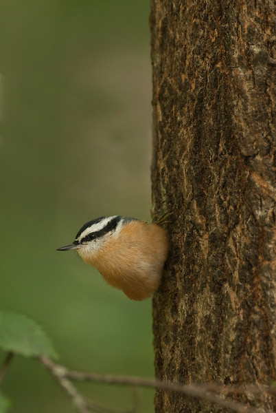 APR-9298: Red-breasted Nuthatch (Sitka canadensis)