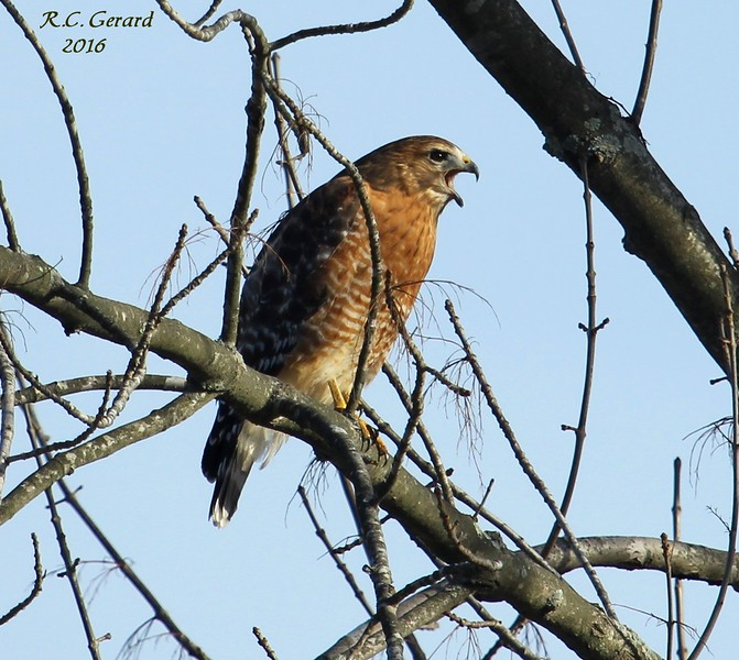 Red Shouldered Hawk 1-31-2016