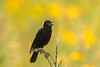 Male Bobolink in field of Black-eyed Susans