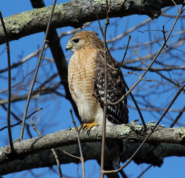 Red Shouldered Hawk 2-27-2016