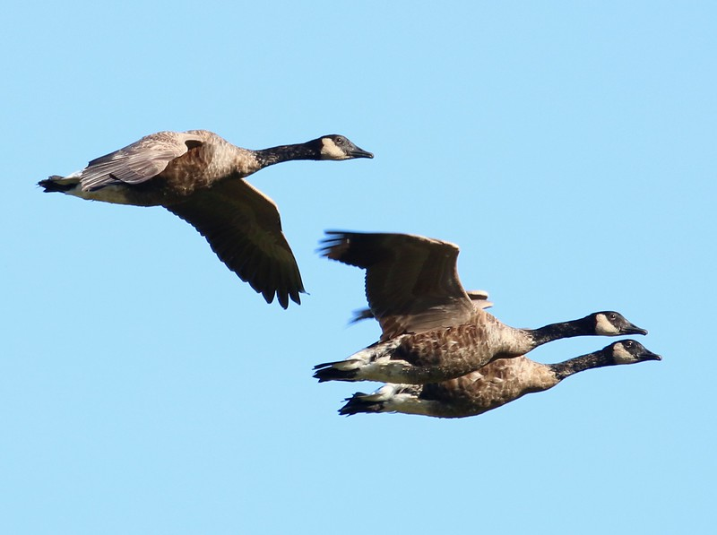 Canadian Geese inbound to Herb's Pond