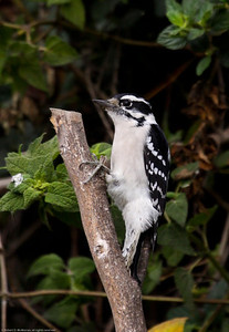 Downy Woodpecker_Ventura_CA-2900