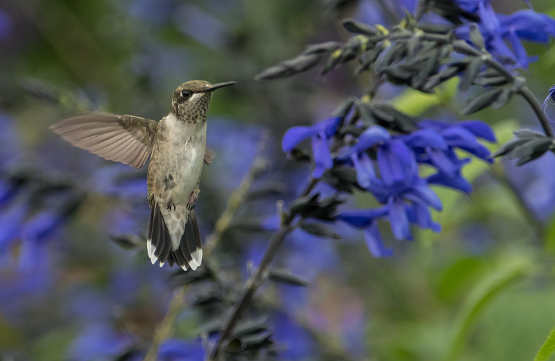 Hummingbird after dinner