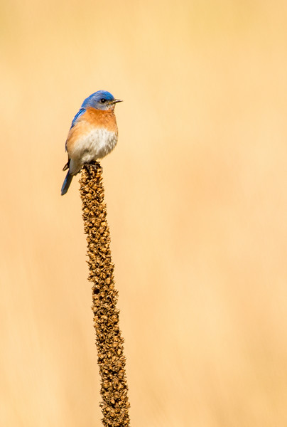 Hunting Eastern male Bluebird