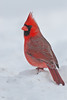 APR-10087: Male Northern Cardinal in winter (Cardinalis cardinalis)