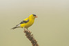 Male American Goldfinch in the fog
