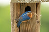 Bringing in nesting material