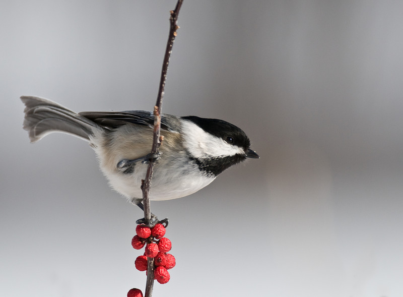 9038-Black-capped Chickadee on winterberry (Parus atricapillus)