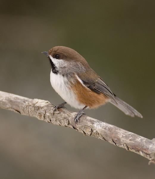 9205-Boreal Chickadee (Paurs hudsonicus)